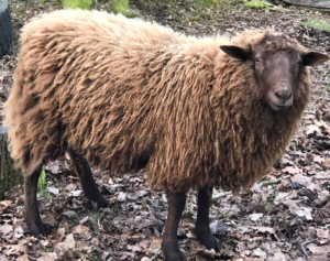 Why Choose Eco Merino - and Sponsoring Cedar the Sheep